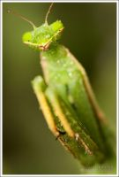 Praying Mantis 2 VIII by Deformity