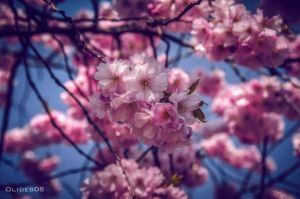 Cherry blossom by olideb08