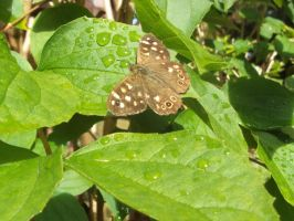 Speckled Wood Butterfly by buttercupminiatures