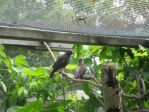 Young Starlings in Aviary by Windthin