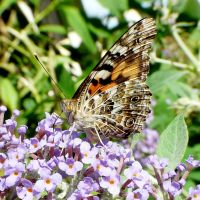 Painted Lady by duggiehoo