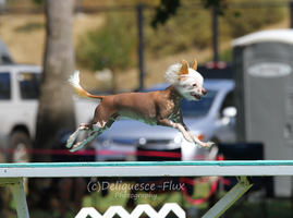 AKC Agility Trial 1 by Deliquesce-Flux