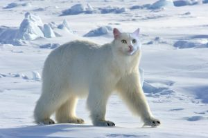 Polar cat by CaptainScratch
