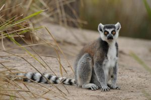 Ring Tailed Lemur by DPasschier
