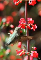 Hummingbird with Penstemon 2 by Monkeystyle3000