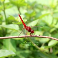 Red Dragonfly by PhotographyRW
