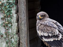 golden eagle by PhotographyChris