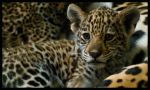 Izaua, the jaguar baby by morho