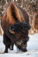 Bison - Solitude by JestePhotography