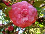 Pink Bloom by Lillagon