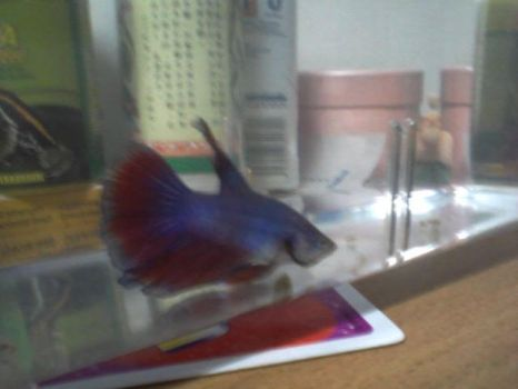 my new family member : FIGHTING FISH by prisc8328
