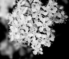 White flower by PixieDivision