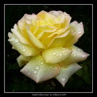 Pastel Yellow Rose 298 by Eolhin