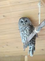 Hamlet the Barred Owl 1 by Windthin