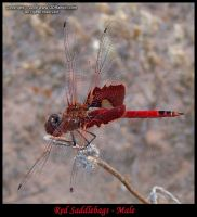 Red Saddlebags - Male 1 by GD-litenin