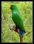 Eclectus Parrot 01 by DarthIndy