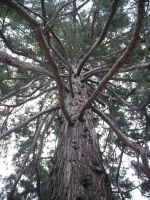 Sequoia by Storm1287