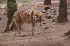 Graywolf 1 by Lakela