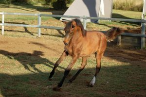 JA Arab yearling neck arched front on by Chunga-Stock