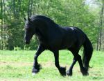 Big Stallion FRIESIAN STOCK by LarissaAllen
