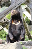 Sun Bear by tammyins