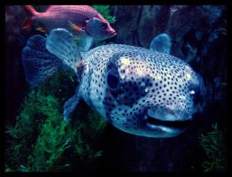 Puffer Fish by bstock
