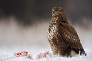 Common buzzard by Holasek
