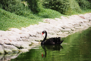 Black Swan 3 by lostreality91
