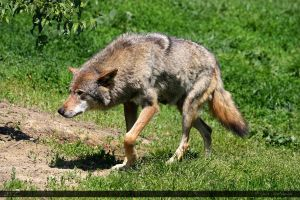 European Wolf 139 by Canisography