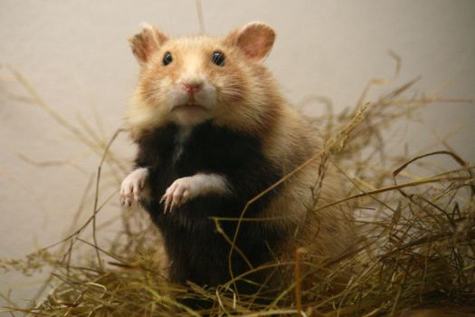 Hamster Stock by Malleni-Stock