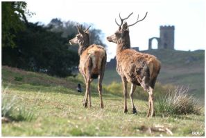 Bradgate Deer by AshleySmith