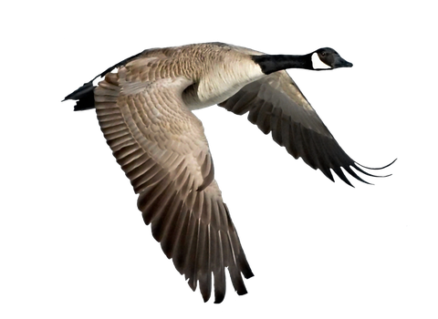 Png Goose by Moonglowlilly