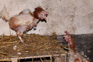 Rescue Hens 2 by writerELEASE