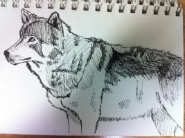 Wolf Drawing by Chachathefox