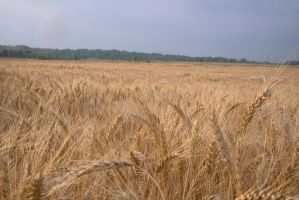 Wheat field 1 by Panopticon-Stock