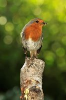 Busy Robin. by quaddie