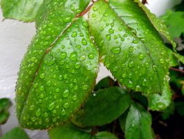 Water drops on leaves 9 by eco6org