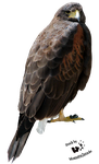 Cut-out stock PNG 02 - brown harris hawk by Momotte2stocks