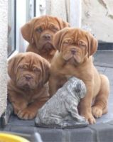 french mastiff puppies by bluefeathergold