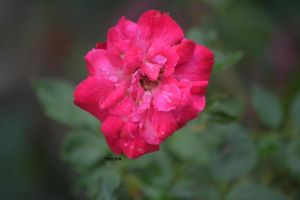 The Rose with dew by GreenNexus51