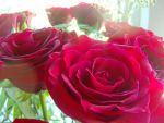 Roses by KayleighOC