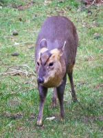 Reeves Muntjac by Jack-In-The-Green