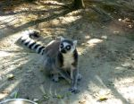 Ring-Tailed Lemur by Lcutter