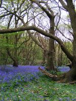 Bluebell Woods by The-strawberry-tree