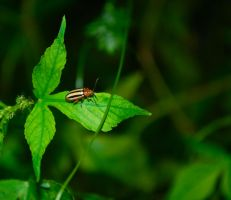 Three Lined Potato Beetle by deaths-discomfort