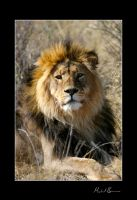 .Lion 1. by duros