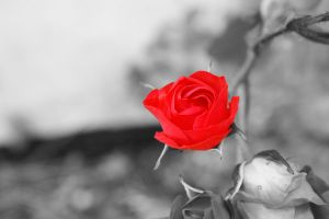Red Rose by Manisma