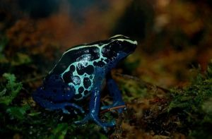 Dyeing Poison Arrow Frog by Ranefea
