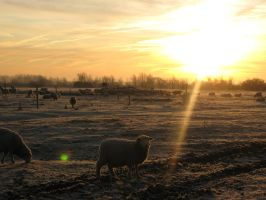 Morning sheep by BluebellePhotography