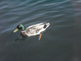 Duck near Harbourfront Toronto by EccentricArrow